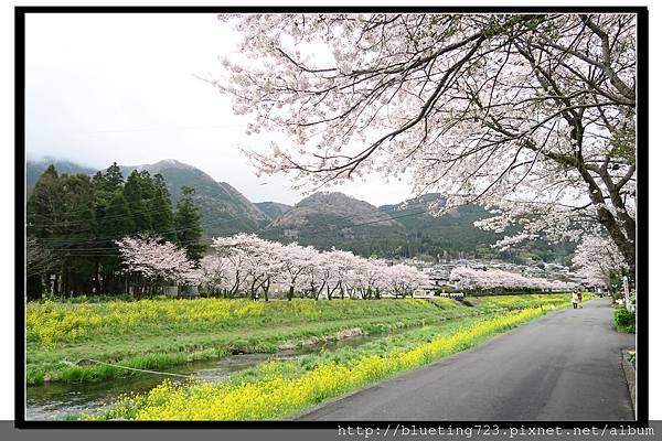 九州《由布院櫻花散策》5.jpg