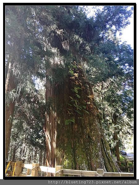 嘉義《阿里山》台18線 紅檜巨木1.jpg