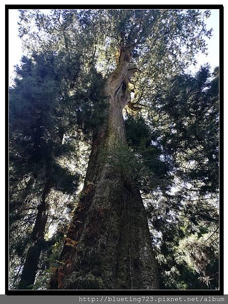 嘉義《阿里山》台18線 紅檜巨木2.jpg
