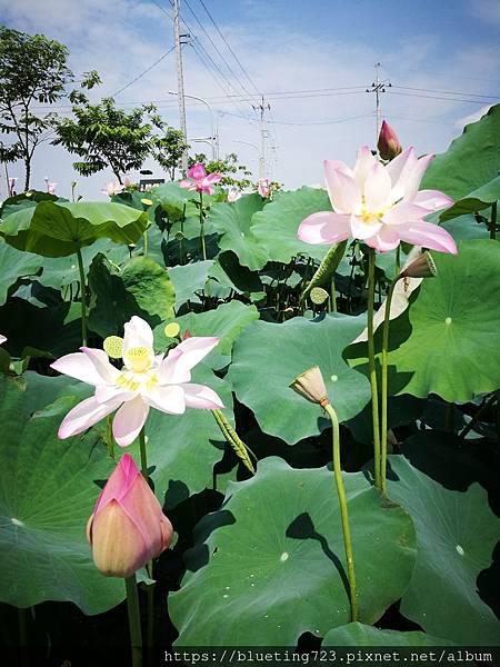 台南《白河蓮花》2.jpg