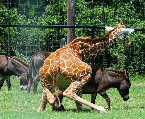 giraffe and donkey