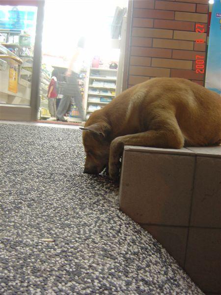 墾丁的狗狗(睡覺姿勢很詭異)