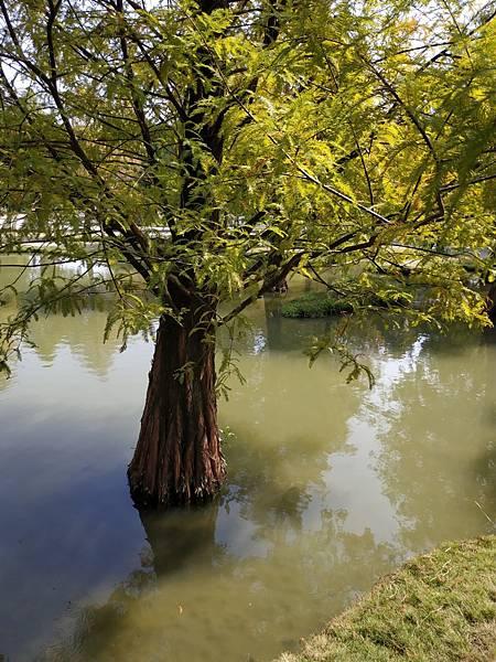 青埔落羽松_201120_39.jpg