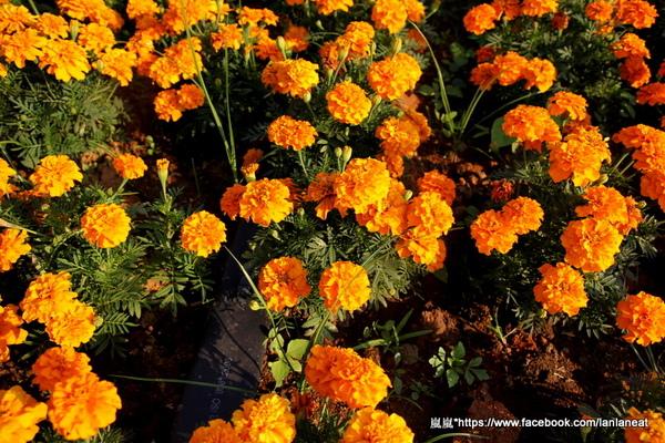 2013新社花海「花間 漫遊 樂悠遊」:【台中新社】2013新社花海-超美花海一日遊,拍照好地方!