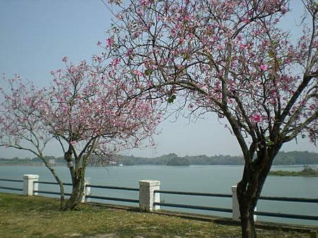 烏山頭水庫櫻花祭 k 1