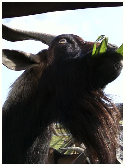 16山羊5.jpg