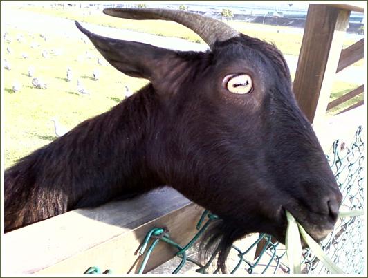 17山羊6.jpg