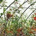 玫開四度食用玫瑰園