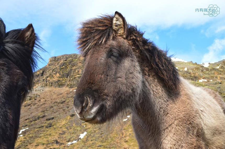 Icelandic horse.冰島馬