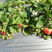 20120212大湖採草莓 070.jpg