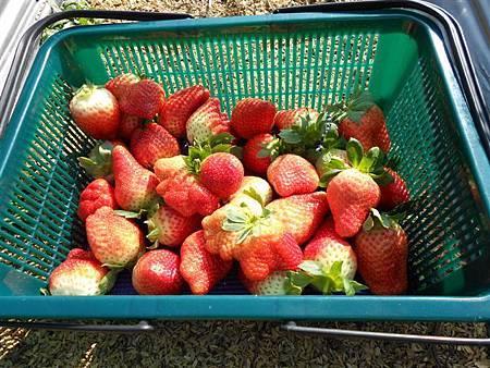 20120212大湖採草莓 115.jpg