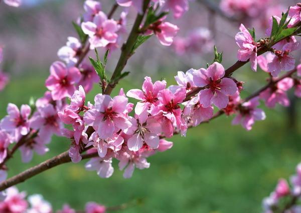 リンゴの花5.jpg