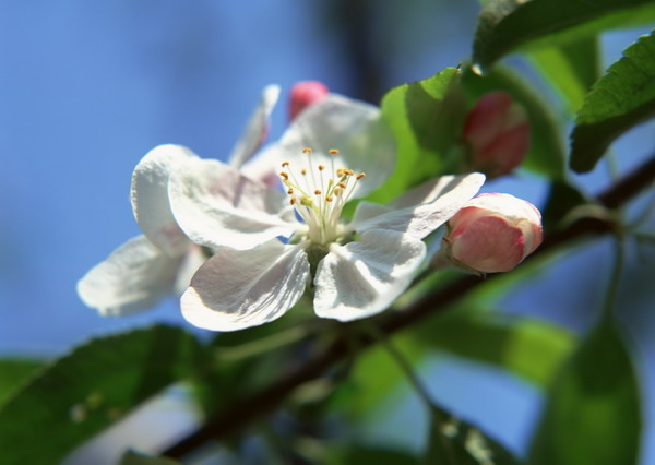 リンゴの花1.jpg