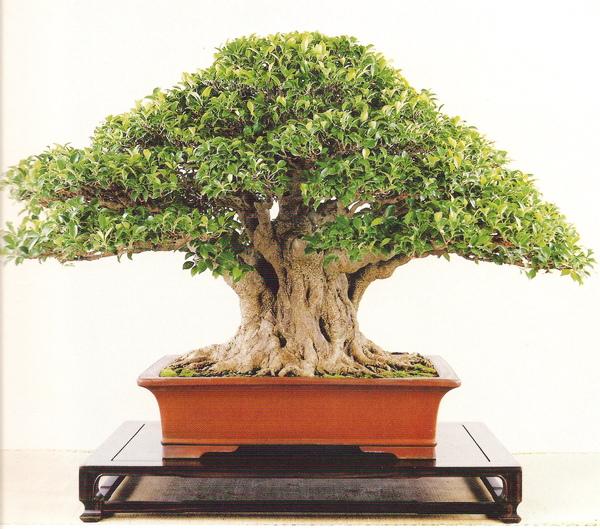 榕樹(高88公分)no1.jpg