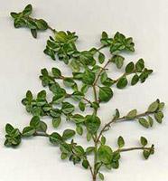 thyme_leaves.jpg