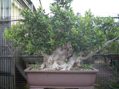 榕樹(素材)1.png