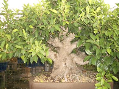 榕樹(素材)3.png