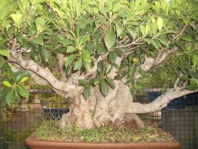 榕樹(素材)2.png