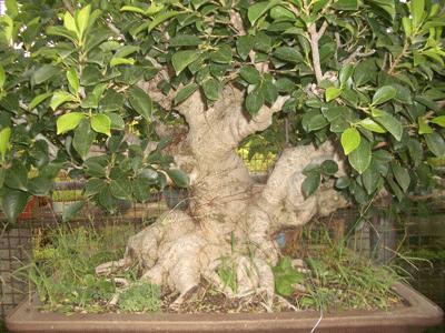 榕樹(素材)4.png