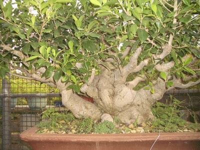 榕樹(素材)5.png