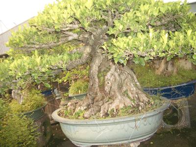 榕樹7.png