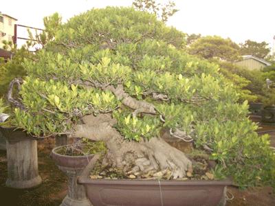 榕樹8.png