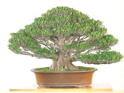 榕樹9.png