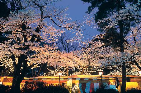 茶店通りと夜桜.jpg