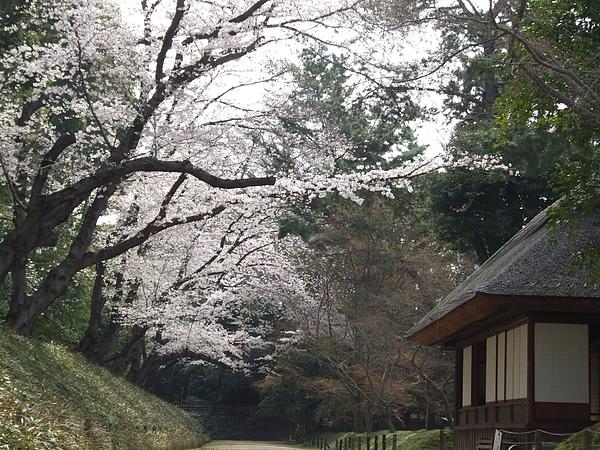 馬場の桜のトンネ.JPG