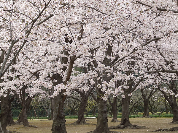 桜林.JPG