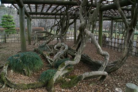 藤の根.jpg