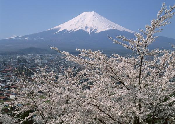 サクラと富士山.jpg