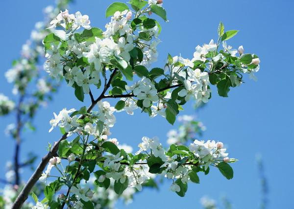 リンゴの花3.jpg