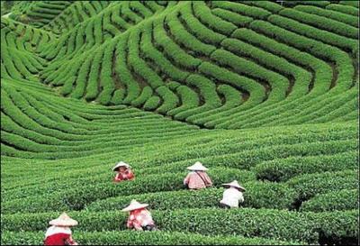 茶園.jpg