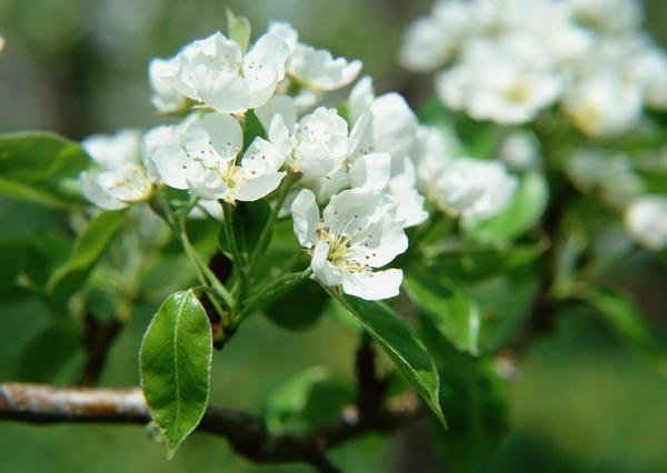 リンゴの花2.jpg