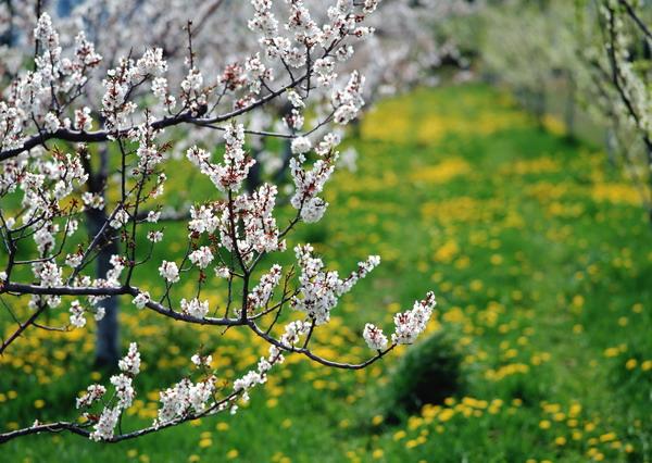 リンゴの花4.jpg