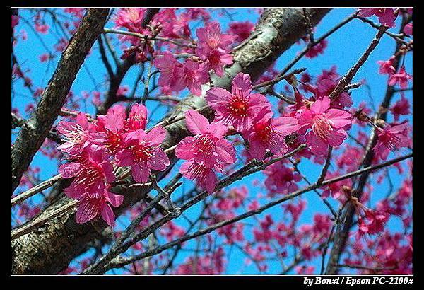 南橫-梅山口櫻花1
