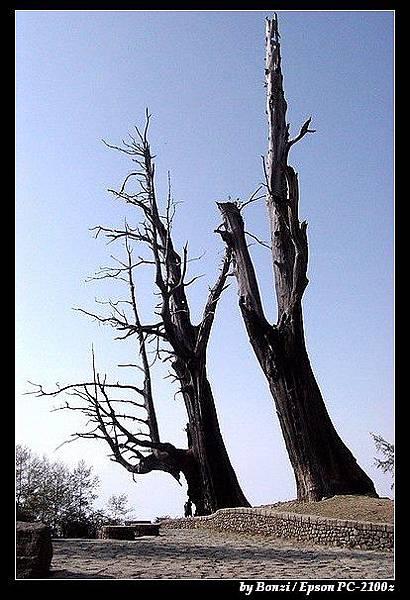 新中橫-夫妻樹