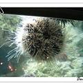 毛茸茸的海膽