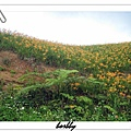 小山坡開滿金針花