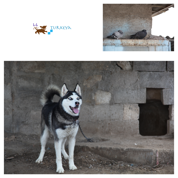 Dogs_in_Turkey_02.png