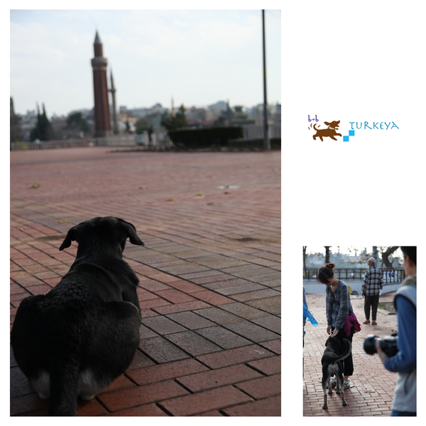 Dogs_in_Turkey_04.png