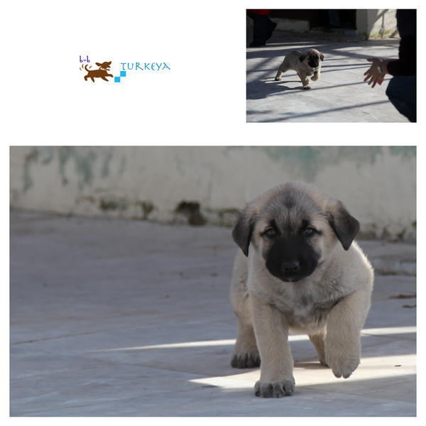 Dogs_in_Turkey_09.png