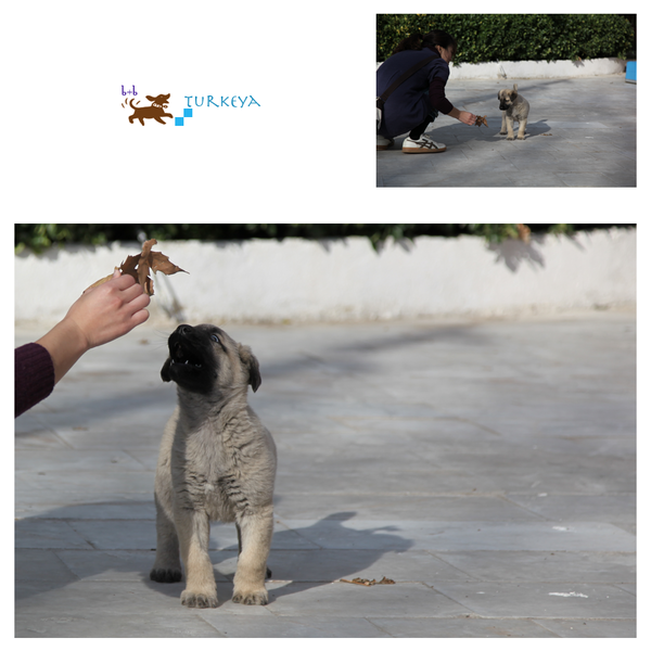 Dogs_in_Turkey_18.png