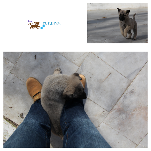 Dogs_in_Turkey_19.png
