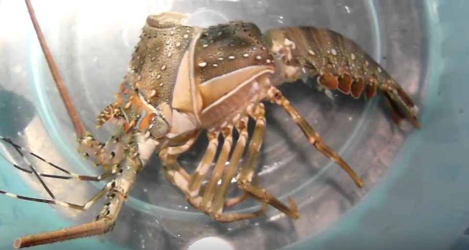 龍蝦脫殼照片2.png