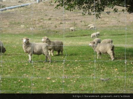 IMG_1005 往Arrowtown的路上,看到羊很興奮.JPG
