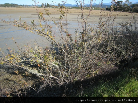 IMG_2856 Motueka Port - 海岸邊的蘋果樹.JPG