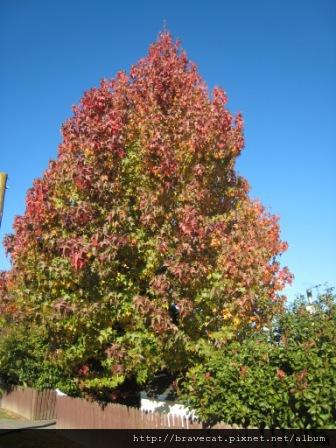 IMG_2387 Motueka - 變色中的樹木(Fearon St).JPG