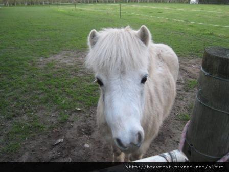 IMG_2820 Motueka - 回家的路上有一隻小白馬,每次看到我們都會跑過來跟我們打招呼(Fearon St).JPG
